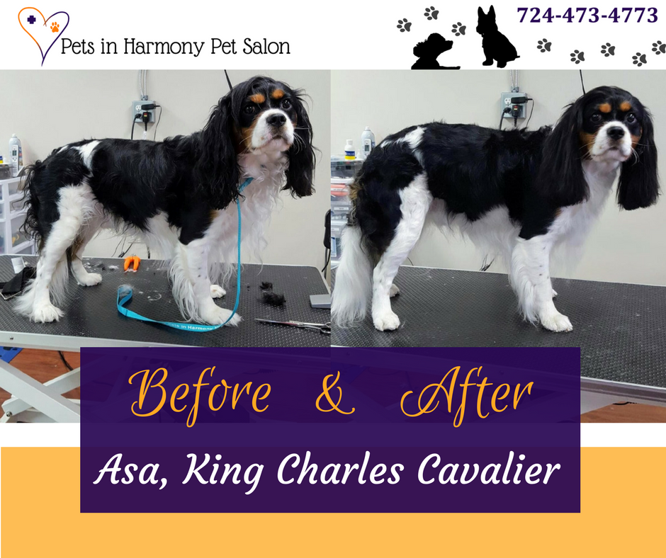 King Charles Cavalier Before and After Grooming
