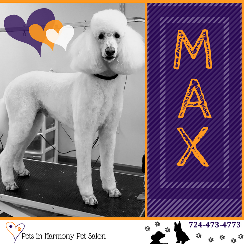 Standard Poodle Max Groomer
